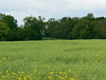 English: Oilseed rape crop, near Cerney Wick T...