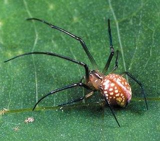 <i>Okileucauge</i> Genus of spiders