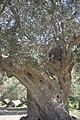 Olea europaea-3095.jpg