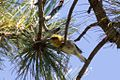 Olive Warbler (male) - Rustler Park - Cave Creek - AZ - 2015-08-16at12-09-076 (21611278036).jpg