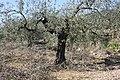 Olive tree 1, Pinet, Valencia.jpg