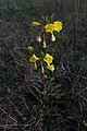 Onagre de Glazou-Oenothera glazioviana-Plant-20141128.jpg
