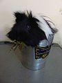 One Abyssinian in an ice bucket 1.jpg