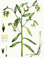 Onosmodium bejariense var. hispidissimum, Torrey's Flora of NY 2-08.jpg