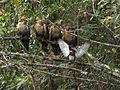 Opisthocomus hoazin (Pava hedionda) (14251759732).jpg
