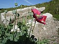 Opium Poppy - Papaver somniferum - geograph.org.uk - 1181442.jpg