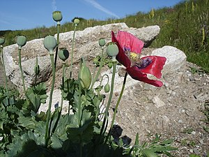 English: Opium Poppy - Papaver somniferum