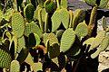 Opuntia microdasys in Jardin des plantes de Montpellier 02.jpg