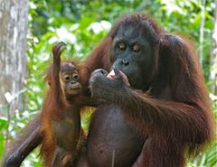 Orang Utan (Pongo pygmaeus) female with baby (8066259067).jpg