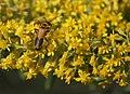 Orange and Green Beetles on Yellow (1315774949).jpg