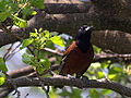 Orchard Oriole (8756315414).jpg