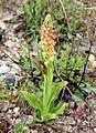 Orchis anthropophora Spanien Orchi 050.jpg