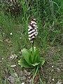 Orchis purpurea, Sićevačka klisura, Srbija.jpg
