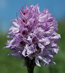 Orchis tridentata 03 mg-k.jpg