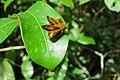 Oriens goloides Moore, 1881 – Smaller Dartlet at Mayyil 2014 (1).jpg