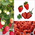 Owoce Truskawka.jpg