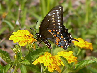 Black Mesa (Oklahoma) - Papilio polyxenes, the state butterfly of Oklahoma, is found on Black Mesa.