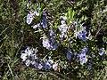 P1090247(4x3)-Rosmarinus officinalis (41960388224).jpg