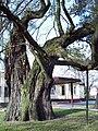 PL ZdWola tree.jpg