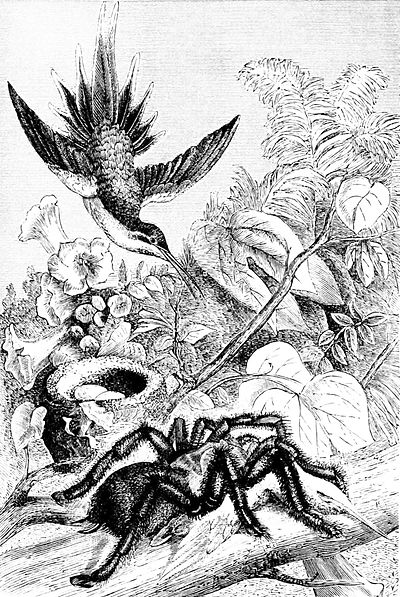 PSM V33 D822 Bird eating spider killing a hummingbird.jpg