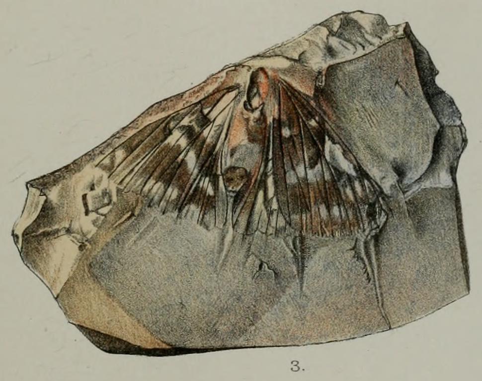 PZSL1889Plate31 Fossil Papilionid Butterfly Lithopsyche antiqua from Early Oligocene Bembridge Marls
