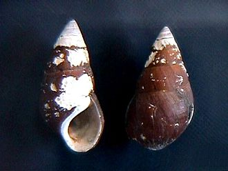 Pachychilidae - Two shells of Pachychilus laevisimus