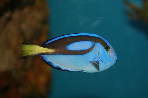 Pacific Blue Tang (Paracanthurus hepatus) (3149754704)