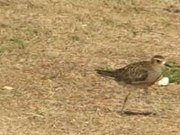 File:Pacific Golden Plover06.ogv