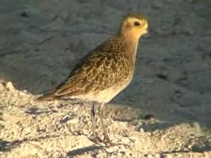 Файл:Pacific Golden Plover06.ogv