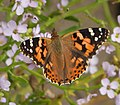 Painted Lady. Vanessa cardui (39648491483).jpg