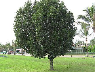 Calophyllaceae - Calophyllum brasiliense