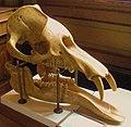 Palaeomastodon beadnelli.jpg