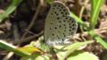Pale Grass Blue (Pseudozizeeria maha).png