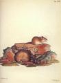 Pallas Sicista betulina 1778-79.png
