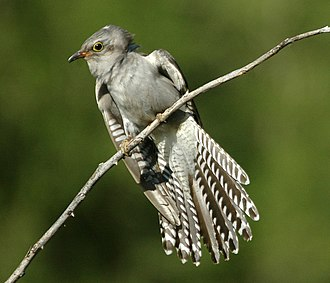 Pallid cuckoo - Image: Pallid Cuckoo kobble 650px