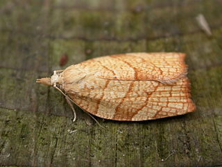 <i>Pandemis corylana</i> Species of moth