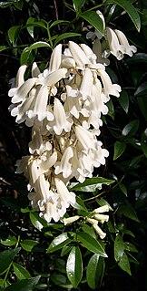 <i>Pandorea pandorana</i> species of plant