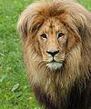 Panthera leo bleyenberghi head Leipzig Zoo 2013.jpg