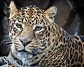 Panthera pardus -Houston Zoo, Texas, USA -head-8a (1).jpg