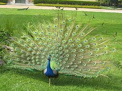 Un paon bleu au Jardin Massey à Tarbes