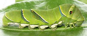 Larva - Larva of Papilio xuthus, butterfly