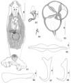 Parasite150040-fig11 Pseudorhabdosynochus meganmarieae Kritsky, Bakenhaster & Adams, 2015 - FIGS 81-88.tif
