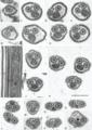 Parasite170144-fig09 spermatozoon Rajonchocotyle emarginata.png