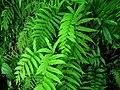 Parathelypteris japonica 栗柄金星蕨/金星蕨科 1 (天問).jpg