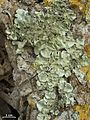 Parmotrema tinctorum - Flickr - pellaea (1).jpg