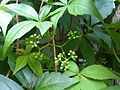 Parthenocissus quinquefolia London 3.jpg
