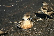 Patagonian Crested Duck.jpg