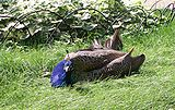 Peacock-male-sunbathing.jpg