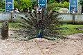 Peacock at Blackpool Zoo (geograph 4022183).jpg