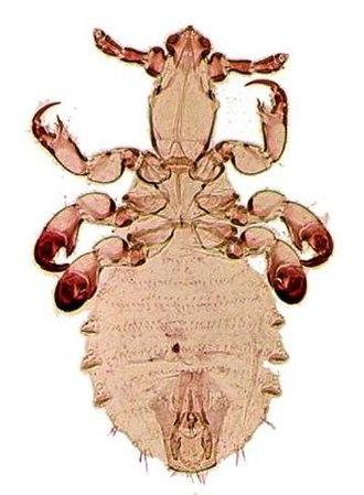 Pedicinidae - Pedicinus hamadryas as seen under a light microscope